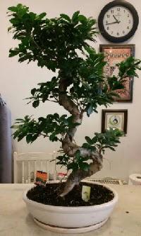 100 cm yüksekliğinde dev bonsai japon ağacı  Adıyaman İnternetten çiçek siparişi