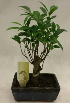 Japon ağacı bonsai bitkisi satışı  Adıyaman çiçekçi telefonları
