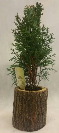 SINIRLI STOK Selvi Bonsai Doğal kütükte  Adıyaman İnternetten çiçek siparişi