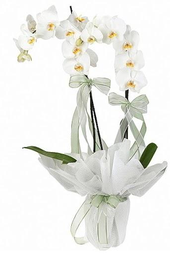 Çift Dallı Beyaz Orkide  Adıyaman anneler günü çiçek yolla