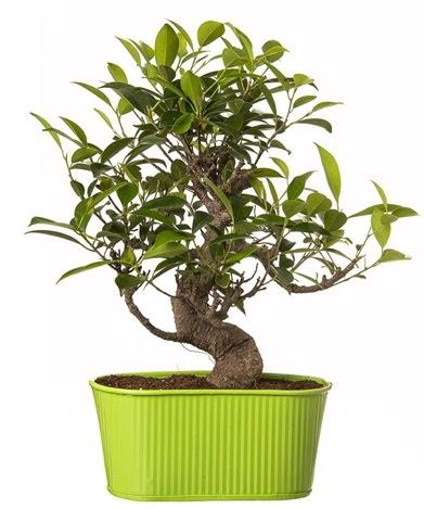 Ficus S gövdeli muhteşem bonsai  Adıyaman çiçek siparişi sitesi