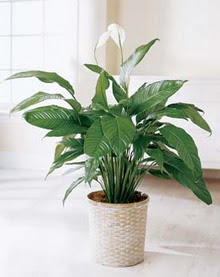 Adıyaman online çiçek gönderme sipariş  spatilyum ithal büyük boy