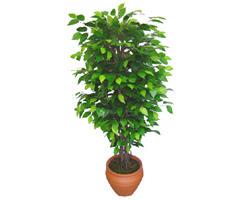 Ficus Benjamin 1,50 cm   Adıyaman anneler günü çiçek yolla