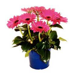 vazo içerisinde gerbera çiçekleri   Adıyaman online çiçek gönderme sipariş