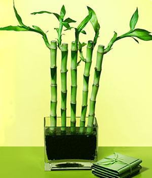 Adıyaman anneler günü çiçek yolla  Good Harmony Lucky Bamboo camda