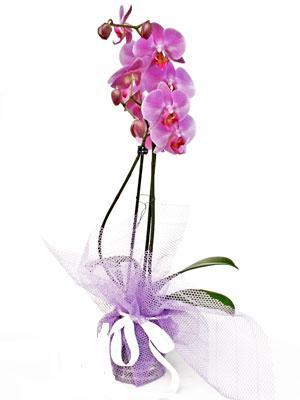 Adıyaman anneler günü çiçek yolla  Kaliteli ithal saksida orkide