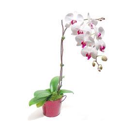 Adıyaman çiçek gönderme  Saksida orkide
