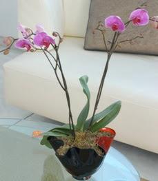 Adıyaman çiçekçi mağazası  tek dal ikili orkide saksi çiçegi