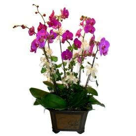 Adıyaman cicek , cicekci  4 adet orkide çiçegi