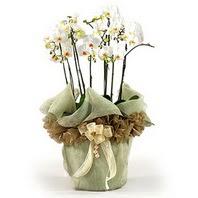 Adıyaman çiçek siparişi sitesi  3 dal orkide , saksi çiçegi , 3 kök orkide