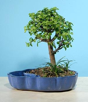 ithal bonsai saksi çiçegi  Adıyaman çiçekçiler