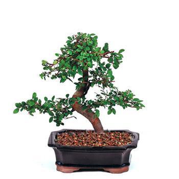 ithal bonsai saksi çiçegi  Adıyaman çiçek siparişi vermek