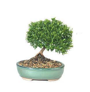 ithal bonsai saksi çiçegi  Adıyaman cicekciler , cicek siparisi