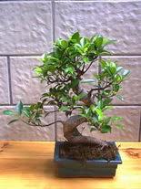 ithal bonsai saksi çiçegi  Adıyaman hediye sevgilime hediye çiçek