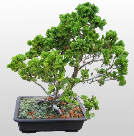 ithal bonsai saksi çiçegi  Adıyaman İnternetten çiçek siparişi