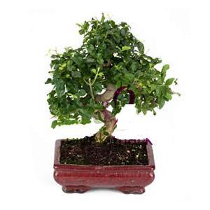 ithal bonsai saksi çiçegi  Adıyaman anneler günü çiçek yolla