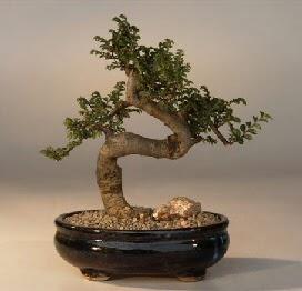 ithal bonsai saksi çiçegi  Adıyaman 14 şubat sevgililer günü çiçek