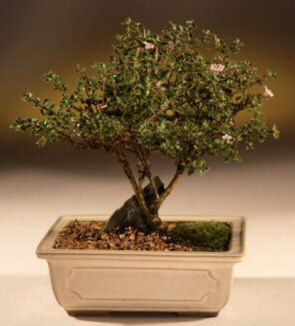 ithal bonsai saksi çiçegi  Adıyaman çiçek mağazası , çiçekçi adresleri