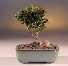Adıyaman çiçek yolla  ithal bonsai saksi çiçegi  Adıyaman internetten çiçek satışı