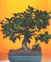 Adıyaman çiçekçi telefonları  ithal bonsai saksi çiçegi  Adıyaman internetten çiçek siparişi