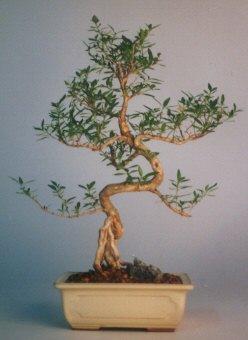 Adıyaman çiçek satışı  ithal bonsai saksi çiçegi  Adıyaman çiçek siparişi vermek