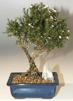 Adıyaman çiçek , çiçekçi , çiçekçilik  ithal bonsai saksi çiçegi  Adıyaman online çiçek gönderme sipariş