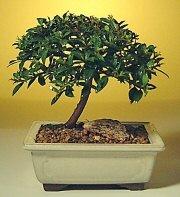 Adıyaman ucuz çiçek gönder  ithal bonsai saksi çiçegi  Adıyaman cicek , cicekci