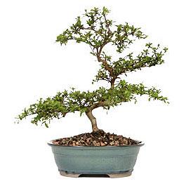 Adıyaman İnternetten çiçek siparişi  ithal bonsai saksi çiçegi  Adıyaman çiçek gönderme sitemiz güvenlidir