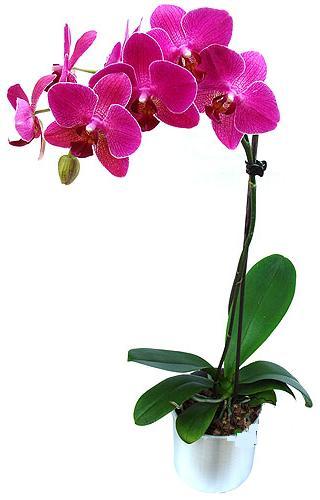 Adıyaman çiçekçi mağazası  saksi orkide çiçegi