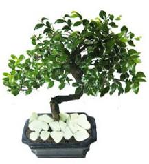 9 yasinda Bonsai agaci  Adıyaman yurtiçi ve yurtdışı çiçek siparişi