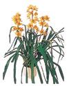 Adıyaman çiçekçiler  Orchiede ithal büyük boy saksi