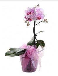 1 dal pembe orkide saksı çiçeği  Adıyaman kaliteli taze ve ucuz çiçekler