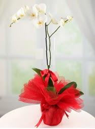 1 dal beyaz orkide saksı çiçeği  Adıyaman yurtiçi ve yurtdışı çiçek siparişi