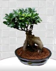 saksı çiçeği japon ağacı bonsai  Adıyaman kaliteli taze ve ucuz çiçekler