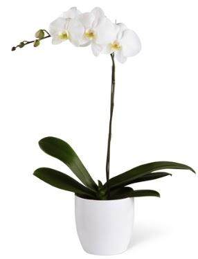 1 dallı beyaz orkide  Adıyaman 14 şubat sevgililer günü çiçek