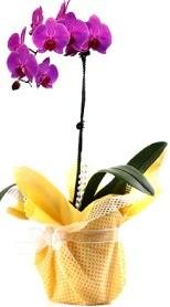 Adıyaman çiçek siparişi sitesi  Tek dal mor orkide saksı çiçeği