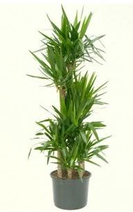 7 li yucca saksı bitkisi  Adıyaman çiçek servisi , çiçekçi adresleri