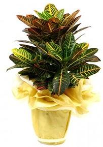Orta boy kraton saksı çiçeği  Adıyaman 14 şubat sevgililer günü çiçek