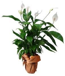 Orta boy barış çiçeği limon çiçeği  Adıyaman internetten çiçek siparişi