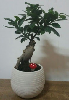 Bonsai japon ağacı saksı çiçeği  Adıyaman çiçek gönderme sitemiz güvenlidir
