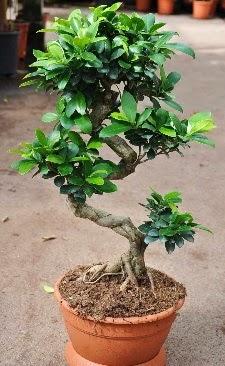 Orta boy bonsai saksı bitkisi  Adıyaman internetten çiçek siparişi