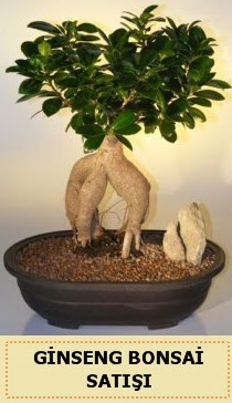 İthal Ginseng bonsai satışı japon ağacı  Adıyaman çiçek siparişi sitesi
