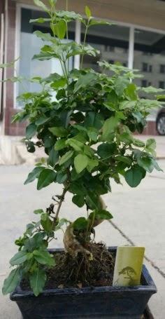 Bonsai japon ağacı saksı bitkisi  Adıyaman çiçek siparişi vermek