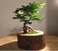 Doğal kütükte Bonsai japon ağacı satışı  Adıyaman internetten çiçek satışı