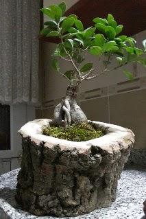 Ahşap kütük içerisinde ginseng bonsai  Adıyaman internetten çiçek siparişi