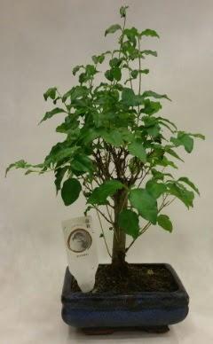 Minyatür bonsai japon ağacı satışı  Adıyaman çiçekçi telefonları