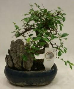 İthal 1.ci kalite bonsai japon ağacı  Adıyaman çiçek satışı
