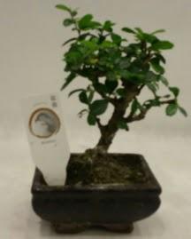 Küçük minyatür bonsai japon ağacı  Adıyaman çiçek gönderme