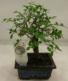 Minyatür ithal japon ağacı bonsai bitkisi  Adıyaman çiçek satışı