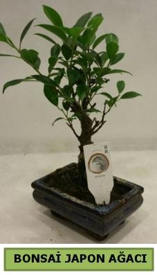 Bonsai japon ağacı saksı bitkisi  Adıyaman çiçek servisi , çiçekçi adresleri